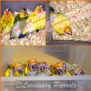 Sun Conures High Yellows Also