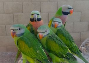 Female moustache parakeets for sale NYC