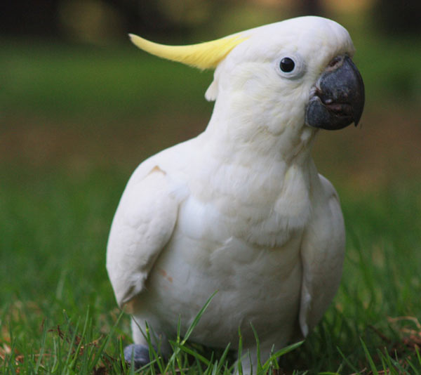 Cockatoos for Sale