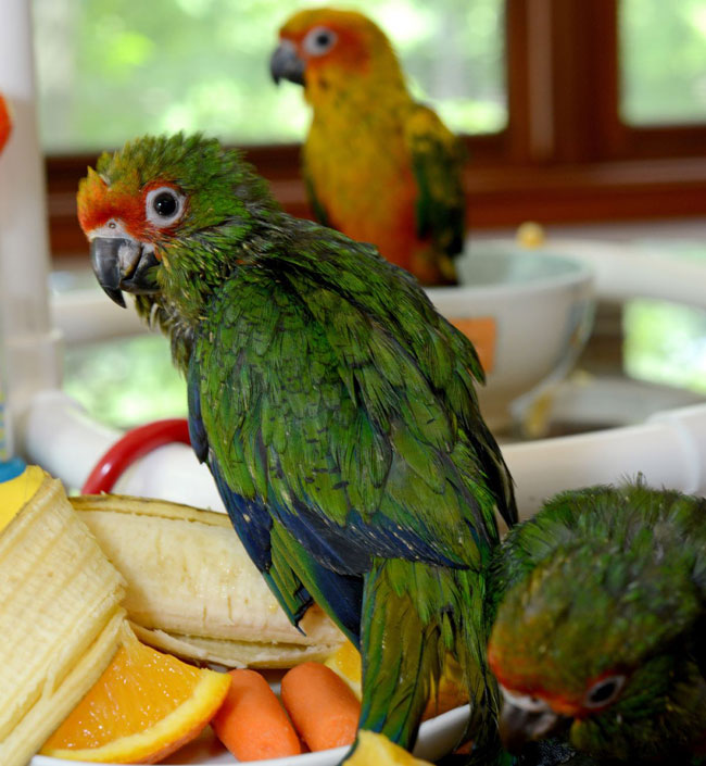 Conure for sale